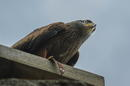 Im Blick des Raubvogels