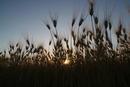 Kornfeld bei Sonnenuntergang