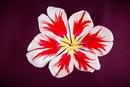 Tulpenportraet