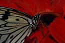 Schmetterling säuft