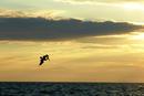 Pelikan im Abendlicht in Florida