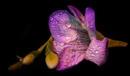 Fresienblüte