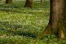der Waldboden blüht