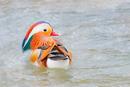 Mandarinente-
