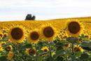 Sonnenblumenfeld in Umbrien