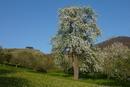 Birnbaum vor Teck und Hohbol
