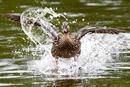 Ente beim abbremsen