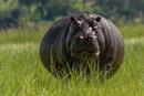 Schwangeres Nilpferd Botswana