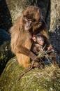 Affe mit Junges