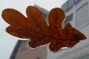 Herbstblatt am Autofenster