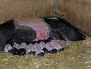Riesen-Schweinerei