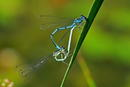 Azurjungfer-Libelle