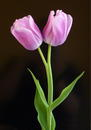 Tulpenpaar