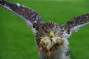 Raubvogelfütterung