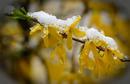 Forsythie mit Schnee