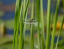 Zweifleck-Libelle