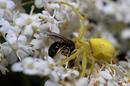 Gelbe Spinne