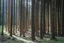 Fichtenwald-