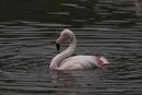 Flamingo jpg
