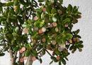 Pfennigbaum (1 von 1)