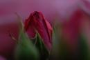Rosenerwachen