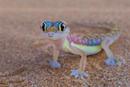 Living Desert Gecko