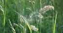Graspollen