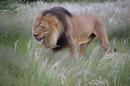 Namibia KAVITA LION