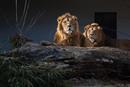 Asiat. Löwen